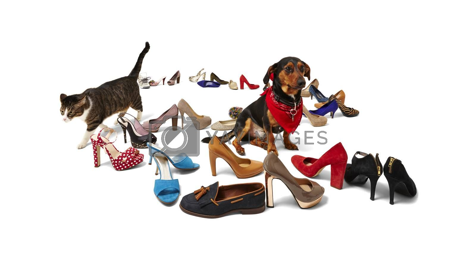 Royalty free image of cat, dog and shoes by filipw