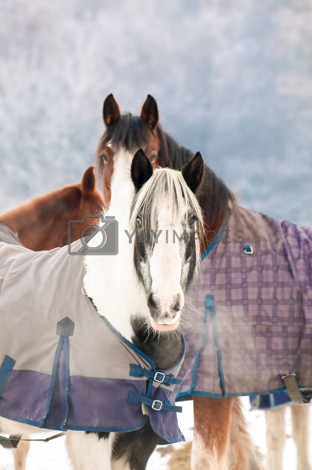 Royalty free image of winter horses by nelsonart