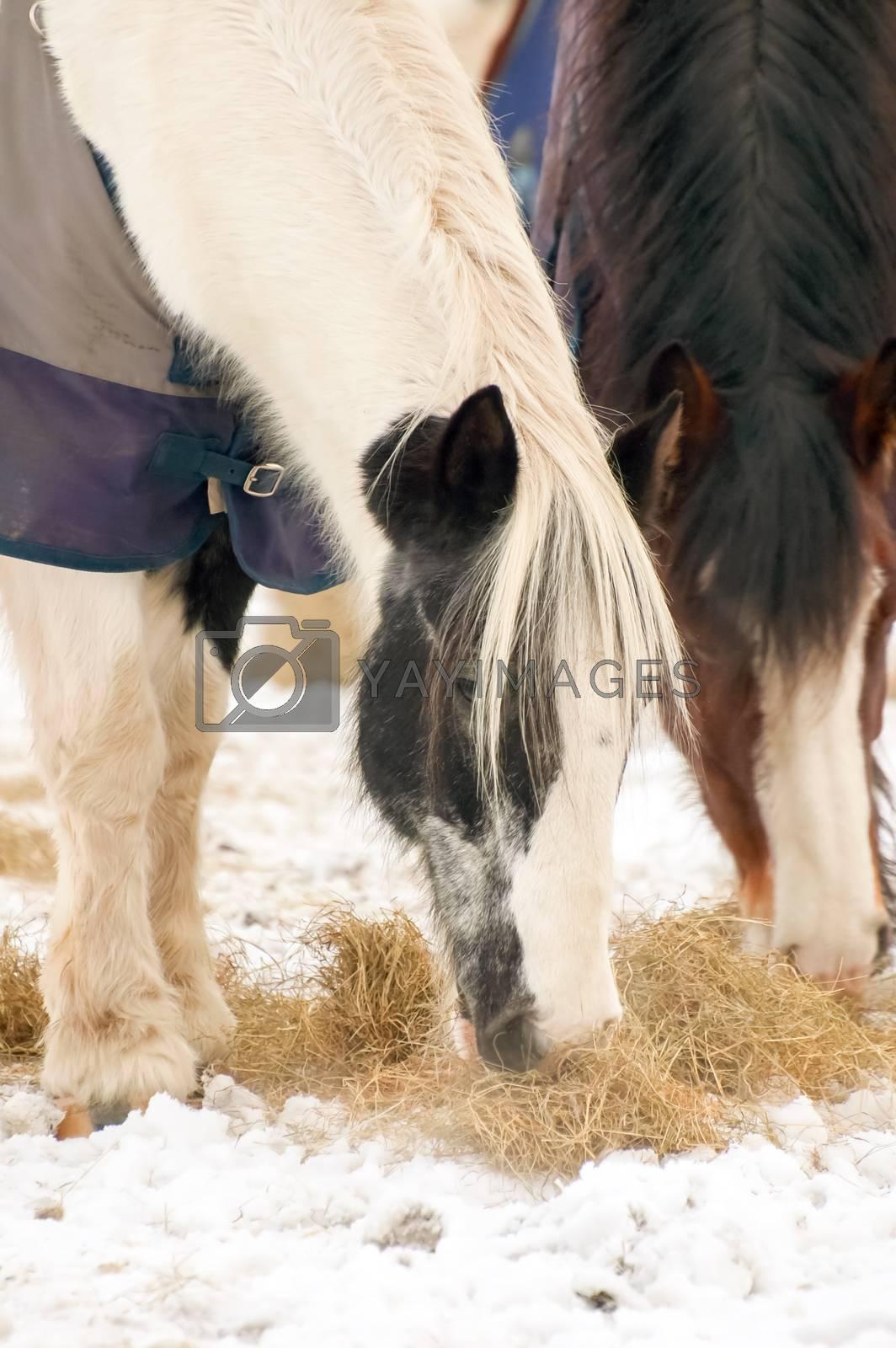 Royalty free image of horses feeding by nelsonart