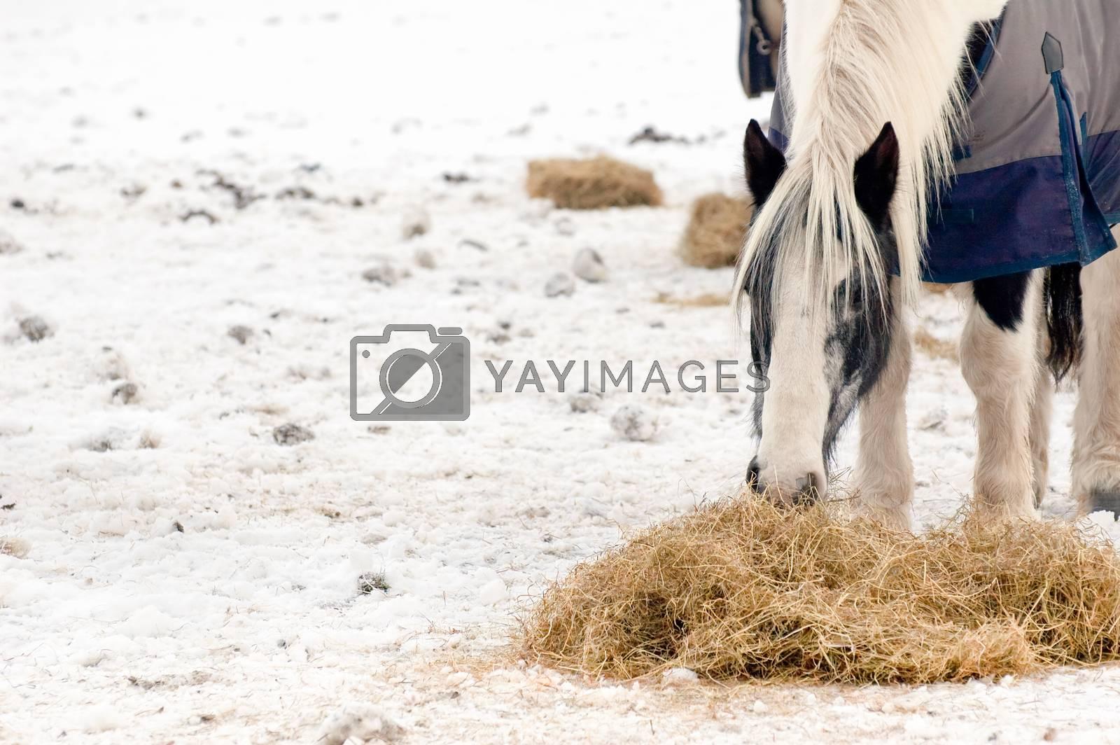 Royalty free image of horse feeding by nelsonart