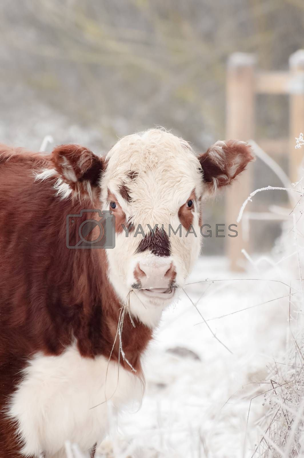 Royalty free image of cow grazing by nelsonart