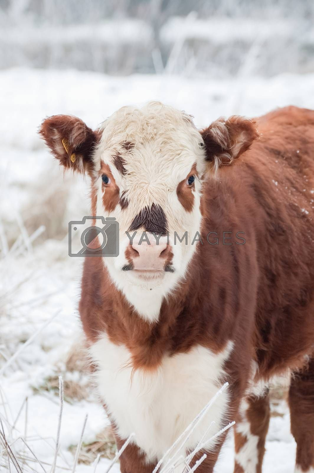 Royalty free image of cow in winter by nelsonart
