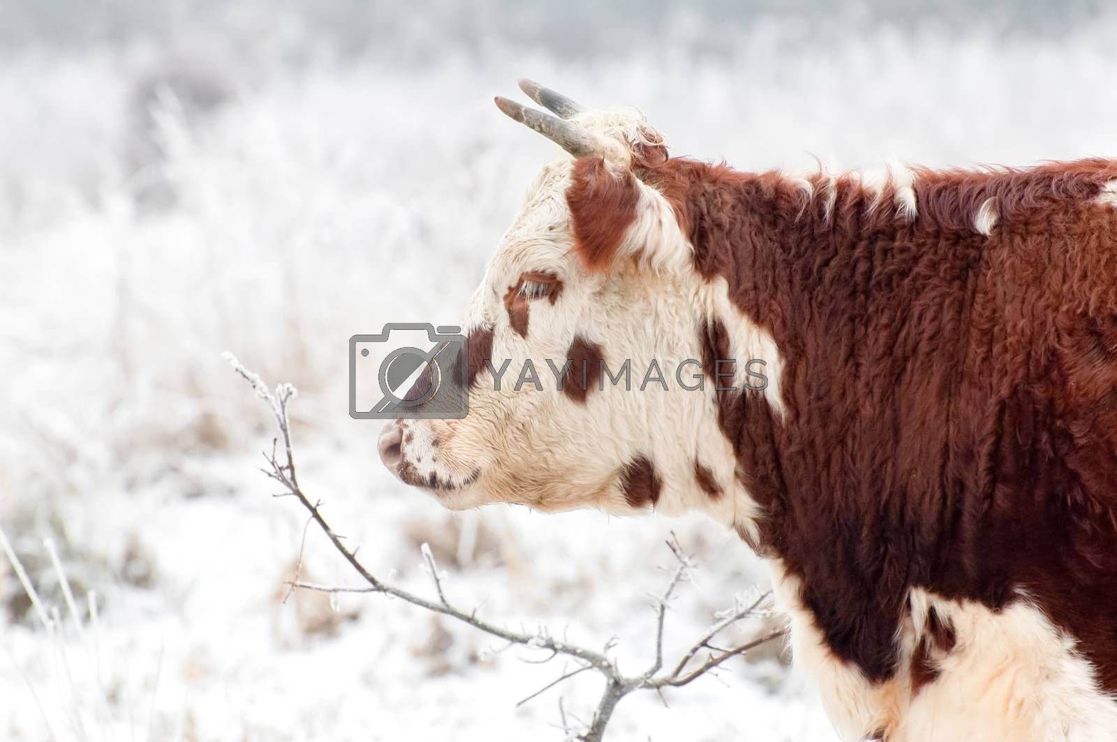 Royalty free image of frozen beef by nelsonart