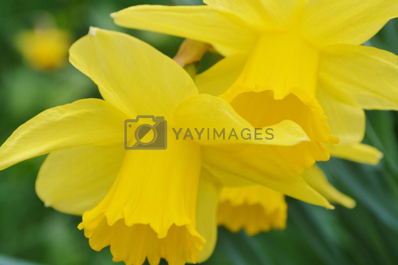 Royalty free image of Daffodils. by paulst