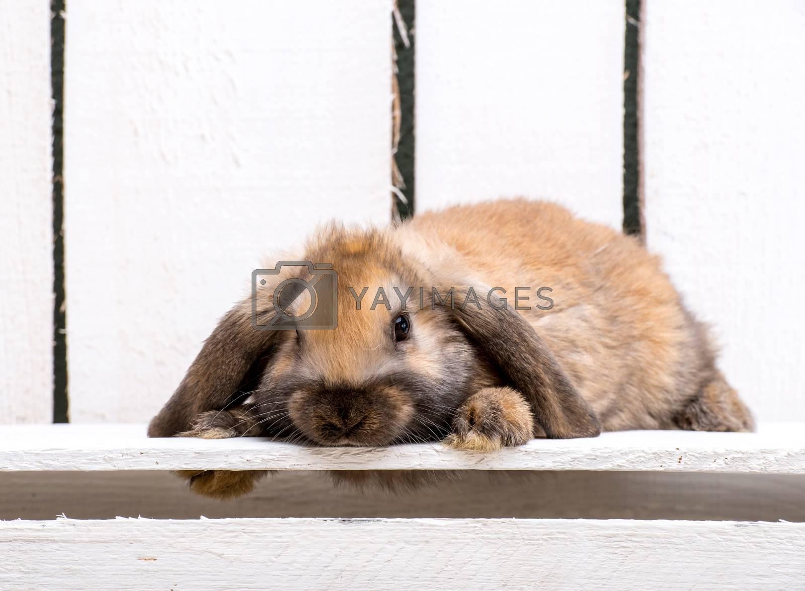 Royalty free image of brown bunny by GekaSkr