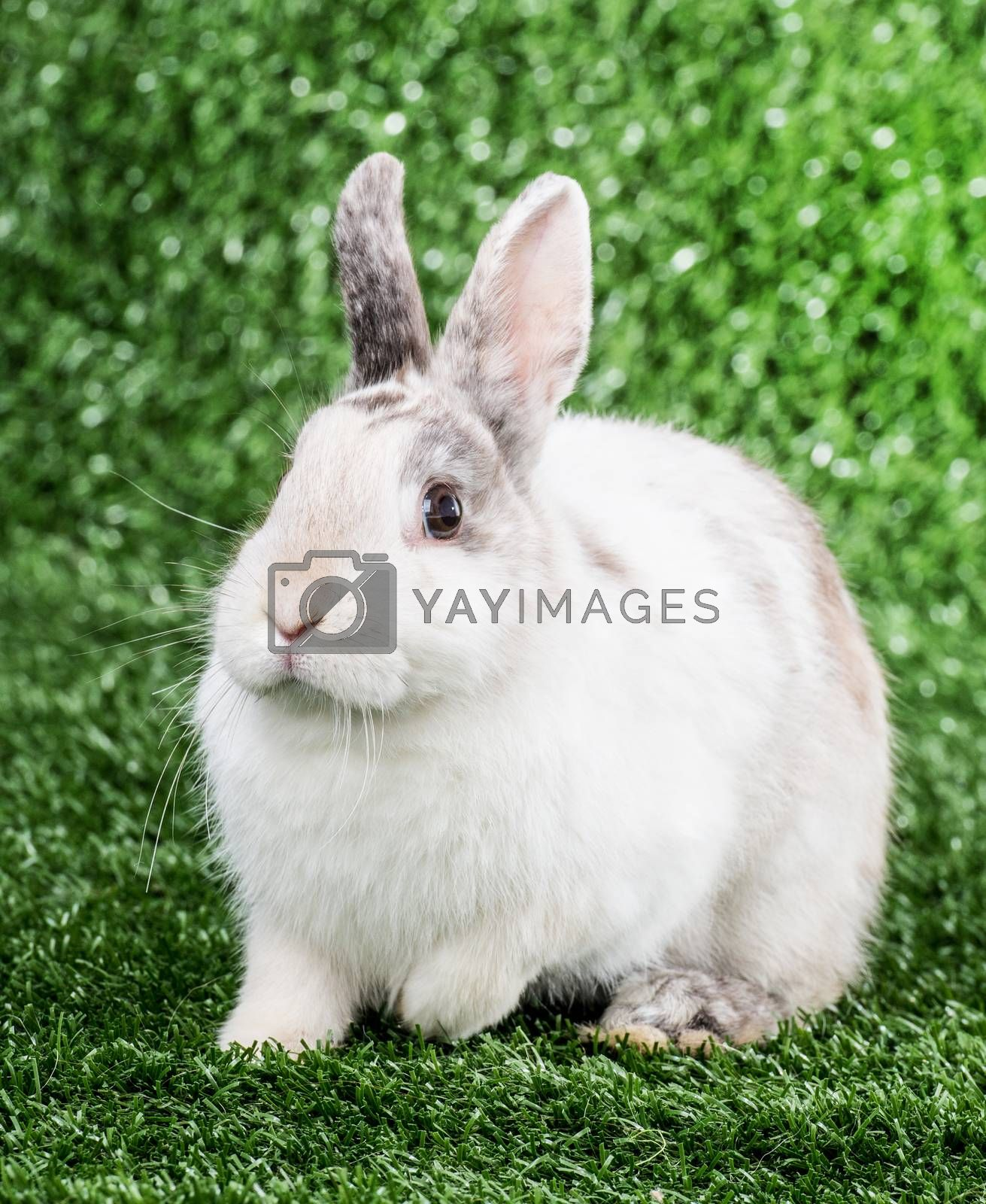 Royalty free image of rabbit on the grass by GekaSkr