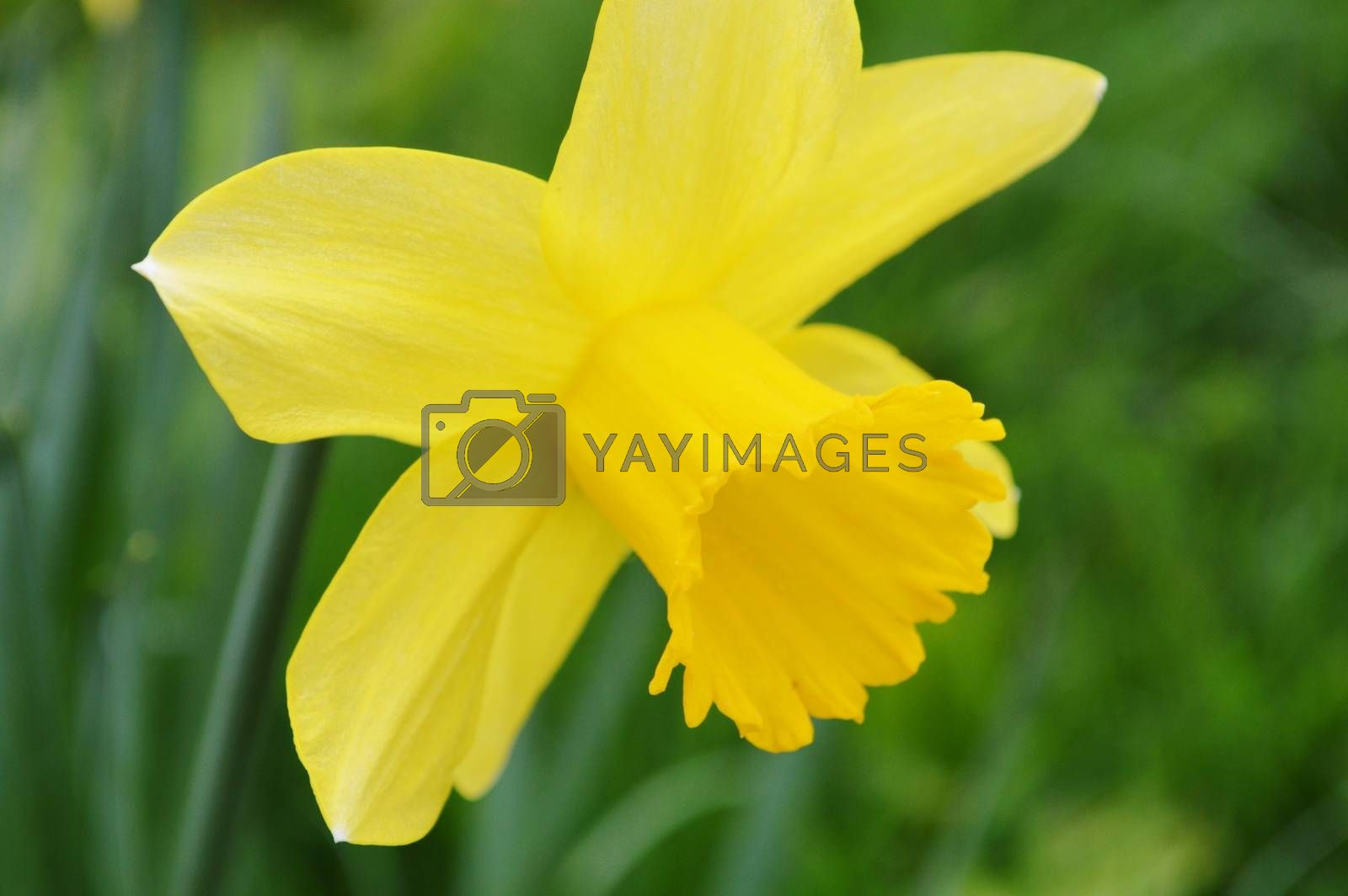 Royalty free image of Daffodil. by paulst