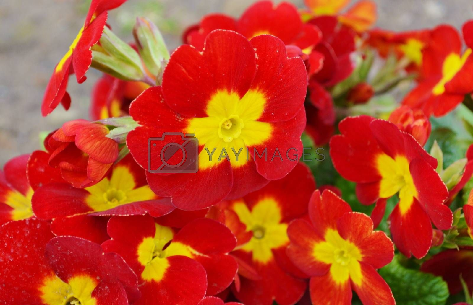 Royalty free image of Primula. by paulst