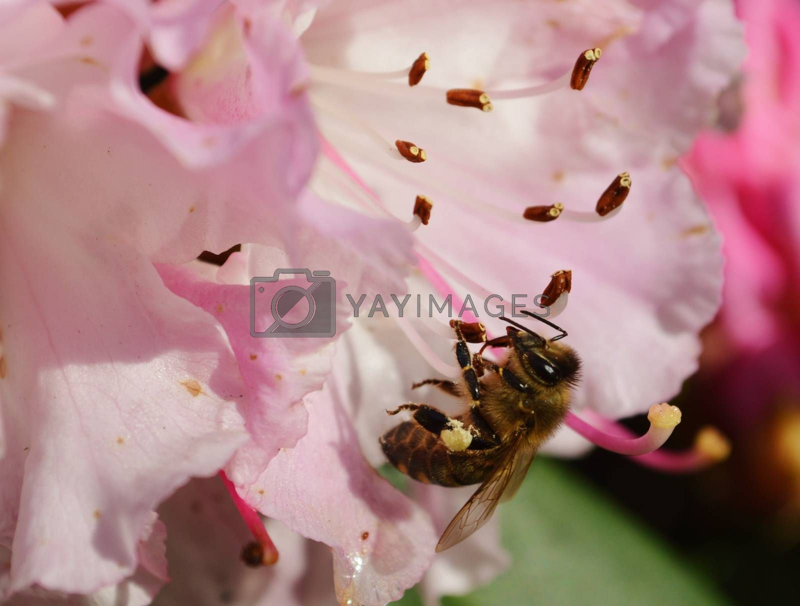 Royalty free image of Bee on a Rhododendron flower. by paulst