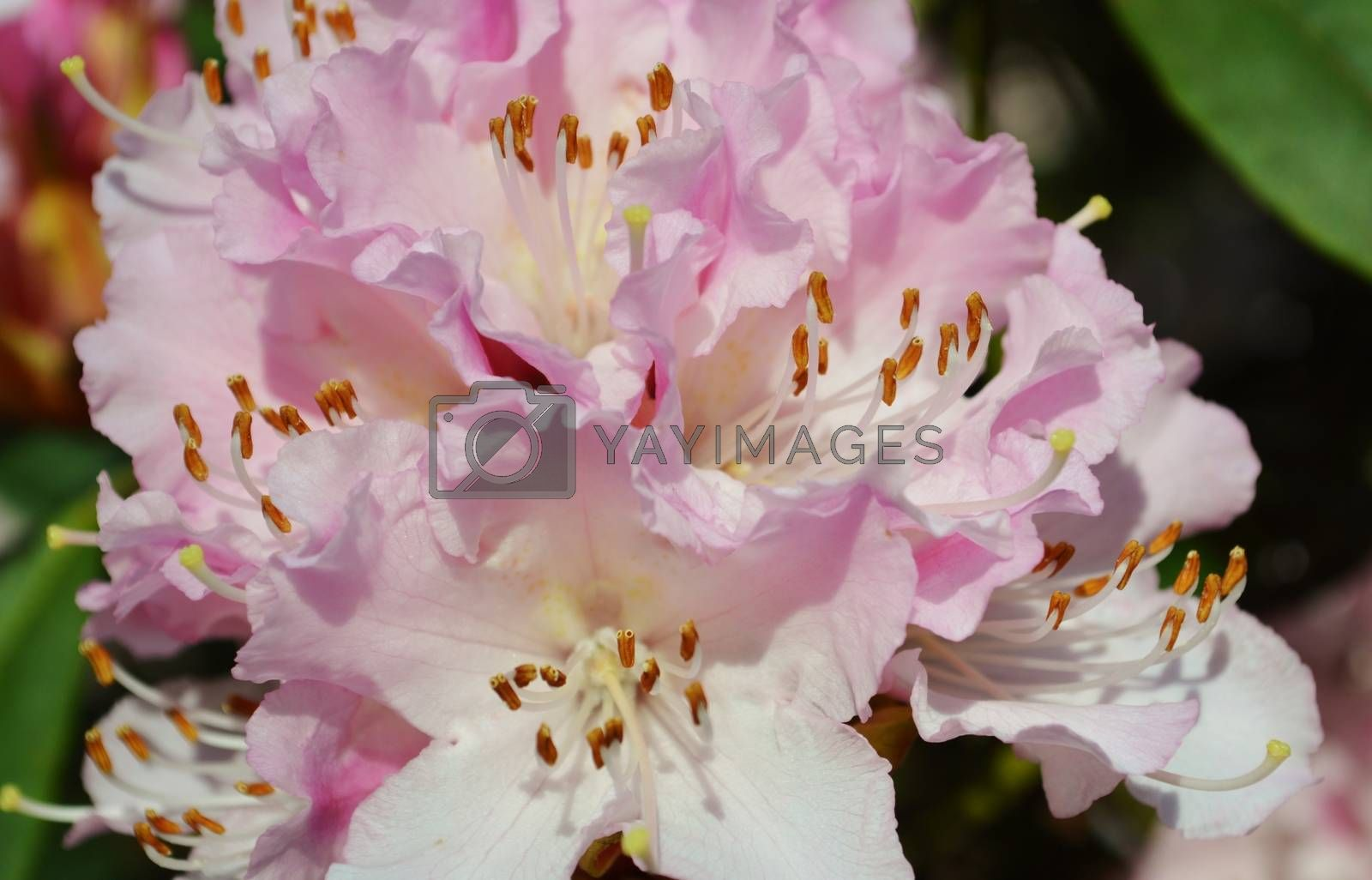 Royalty free image of Rhododendron flowers. by paulst