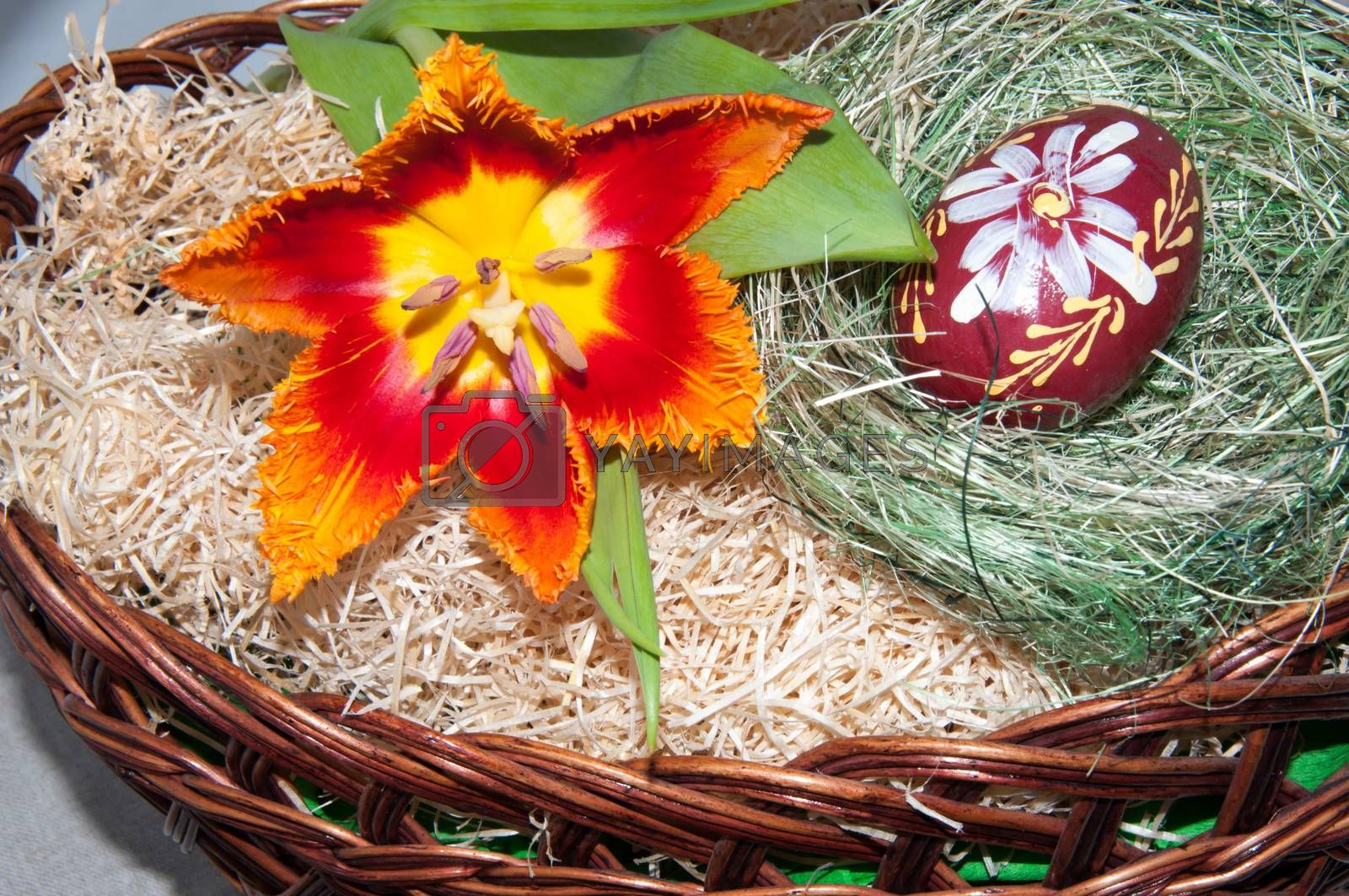 Royalty free image of Tulip and Easter egg... by 0608195706081957