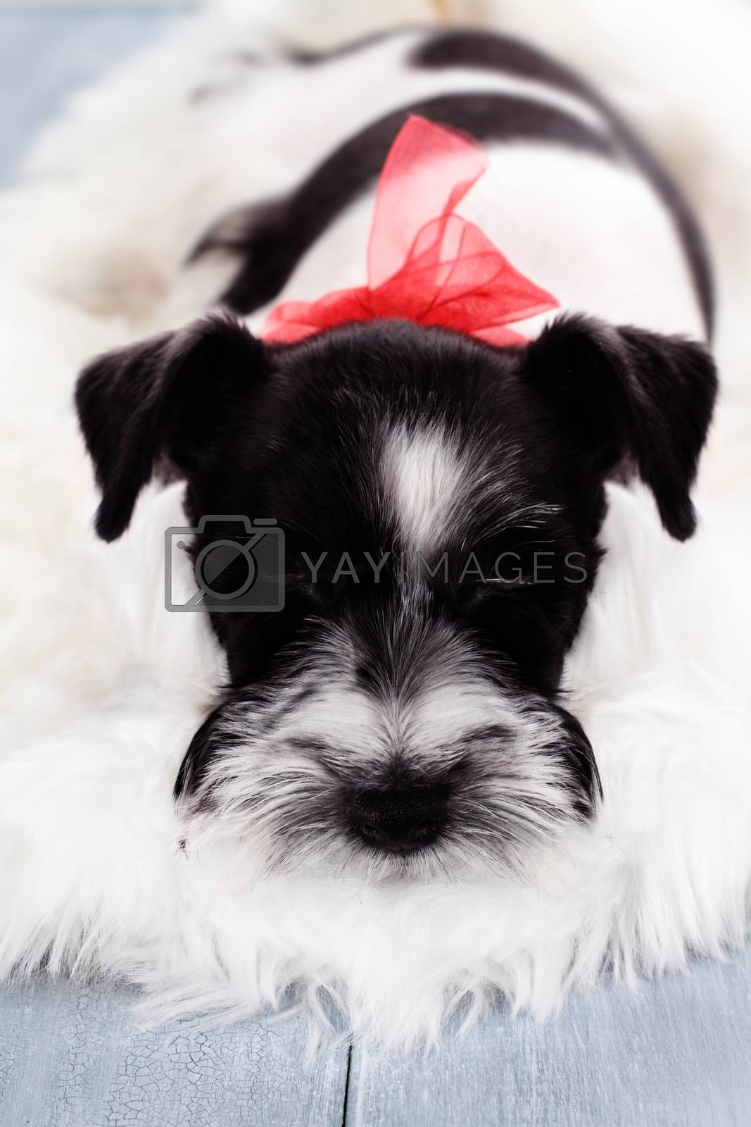 Royalty free image of Parti Color Miniature Schnauzer by StephanieFrey