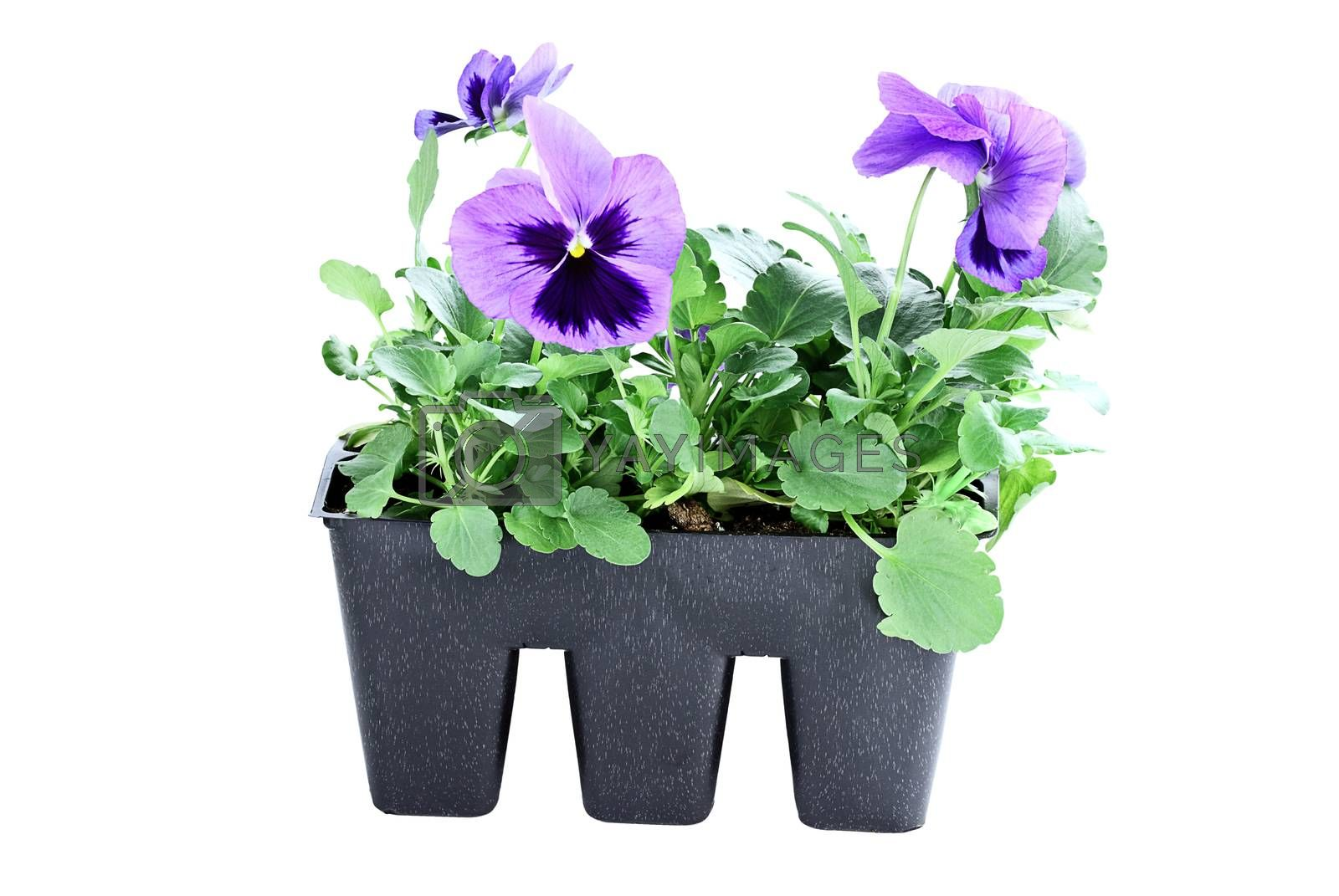 Royalty free image of Purple Pansies by StephanieFrey