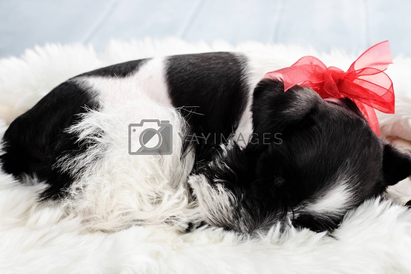 Royalty free image of Sleeping Parti Color Miniature Schnauzer by StephanieFrey