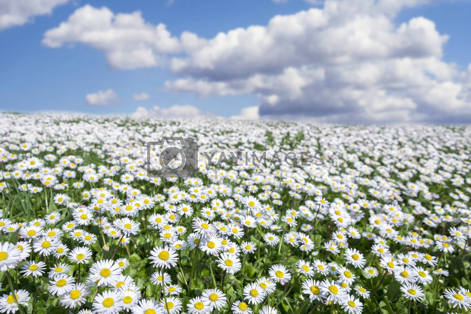 Royalty free image of field of daisies by enrico.lapponi