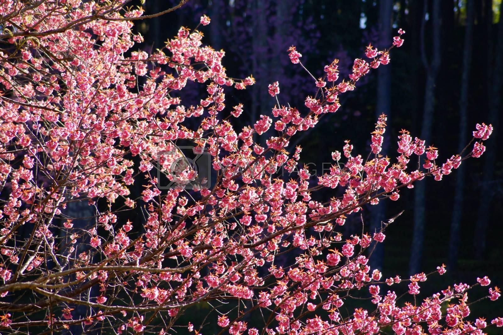 Royalty free image of sakura blooming by nattapatt