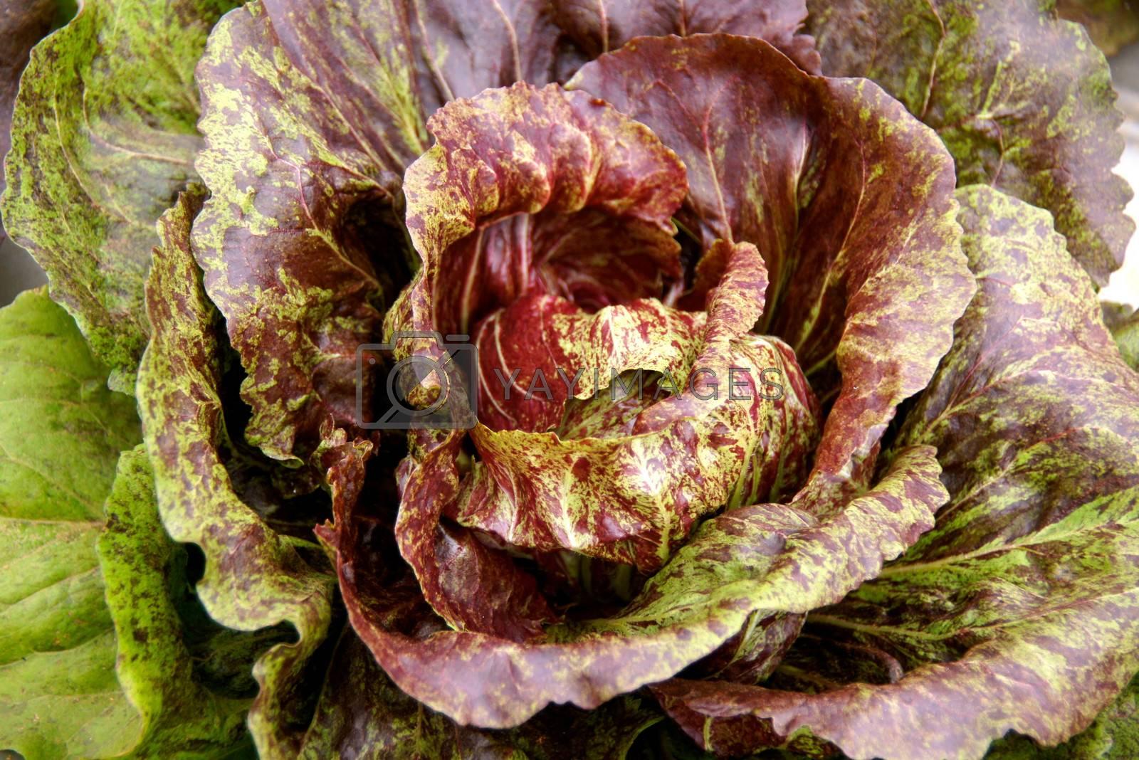Royalty free image of vivid vegetable 3 by nattapatt