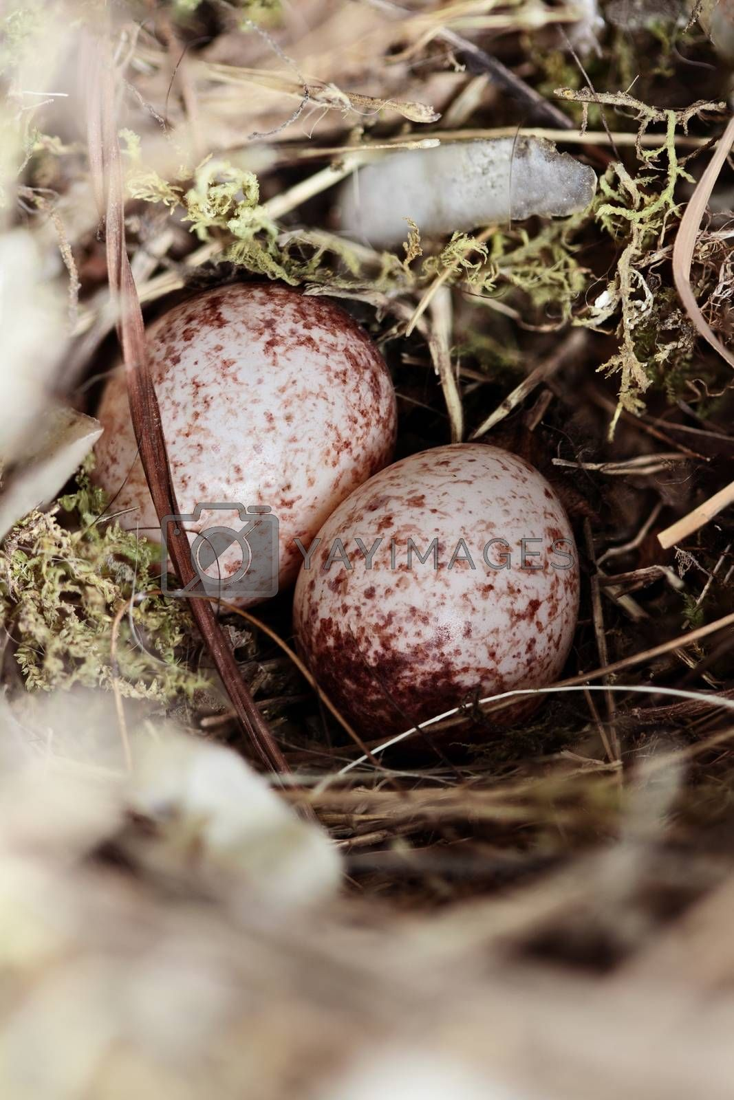 Royalty free image of Wrens Nest with Eggs by StephanieFrey