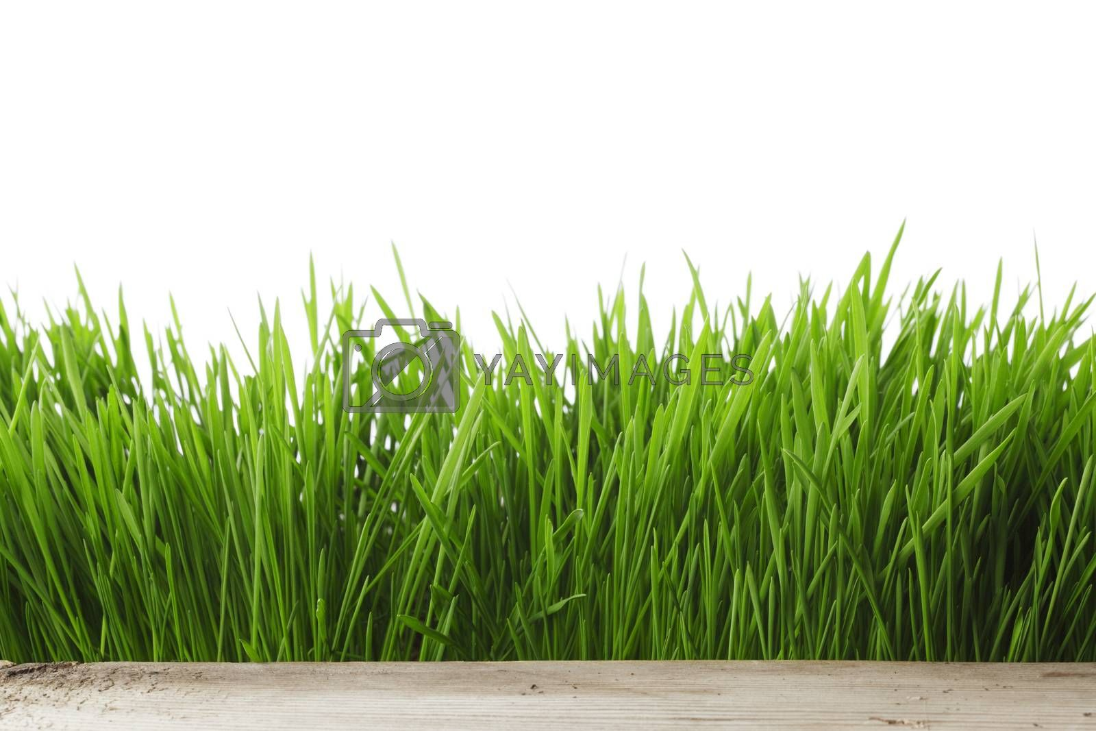 Royalty free image of Spring grass on white by Yellowj