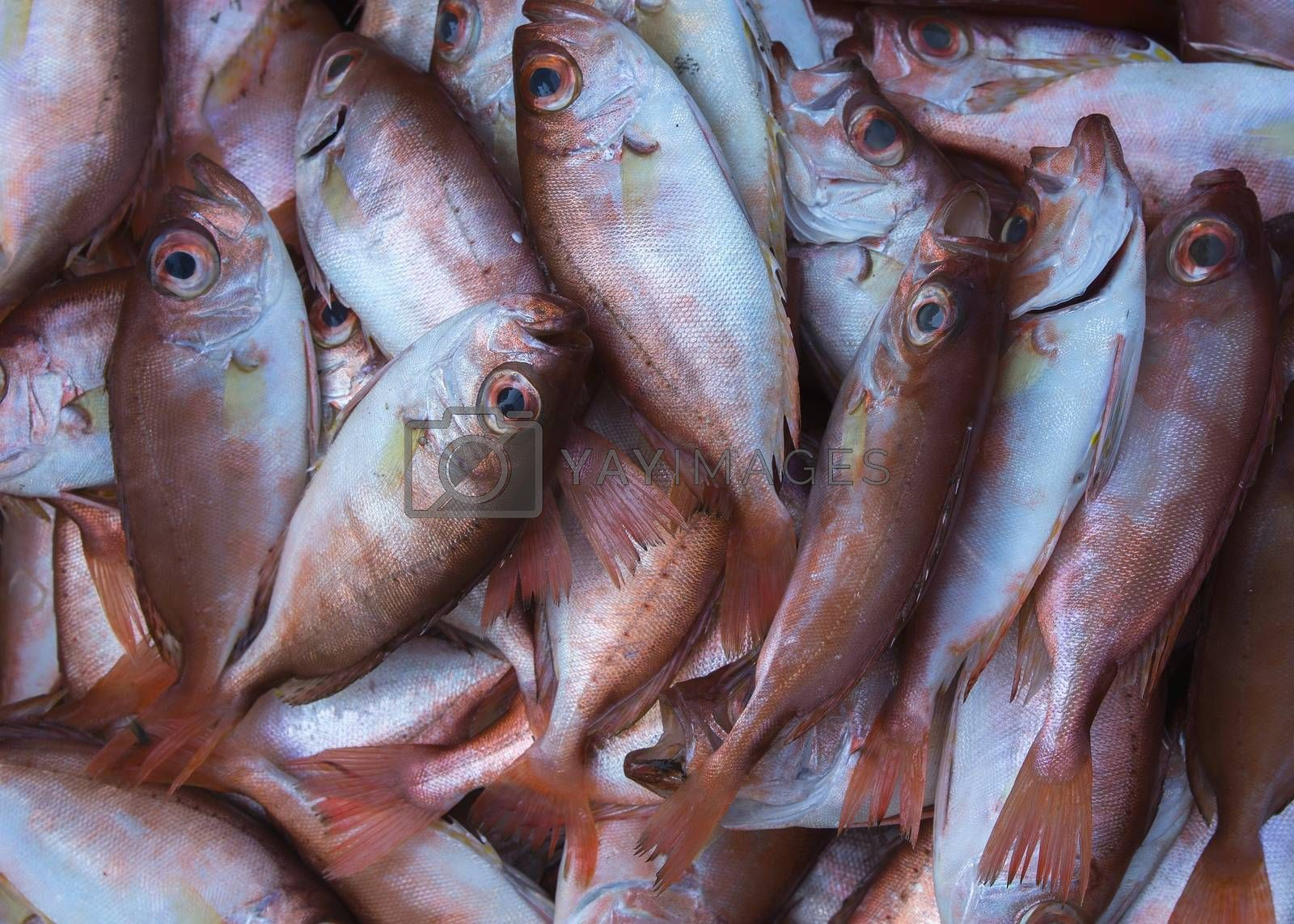Royalty free image of Close up of copper-colored fish caught in the South China Sea. by Claudine
