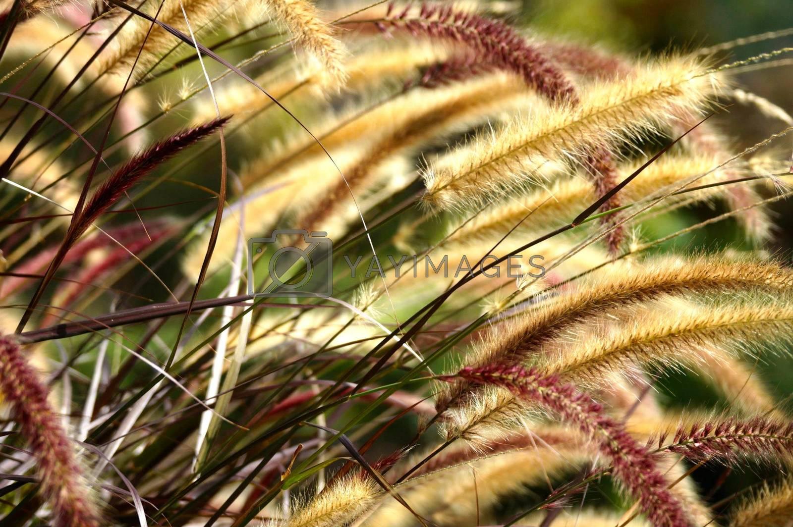 Royalty free image of gold grass by nattapatt
