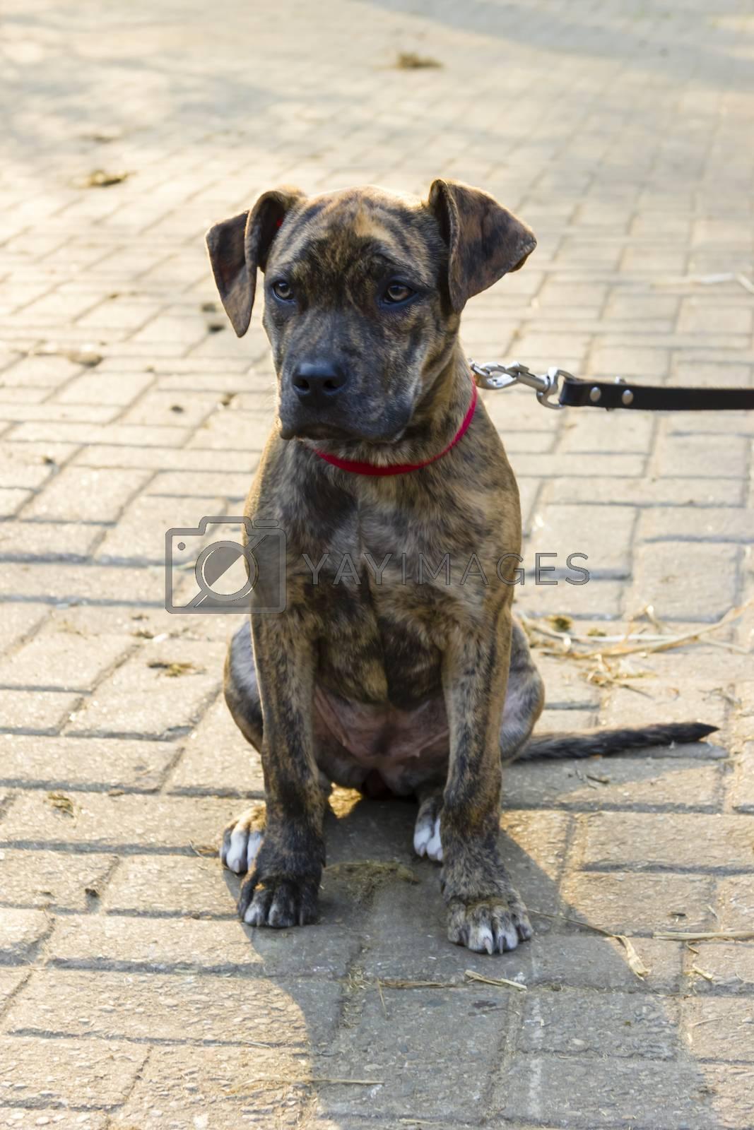 Royalty free image of piebald short-haired catahoula bulldog puppy sitting by Tetyana