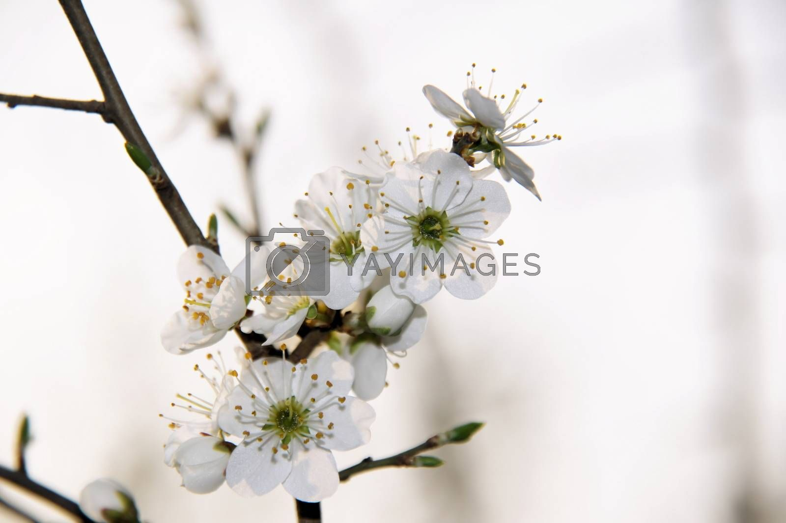 Royalty free image of Wild cherry blossoms by azurin