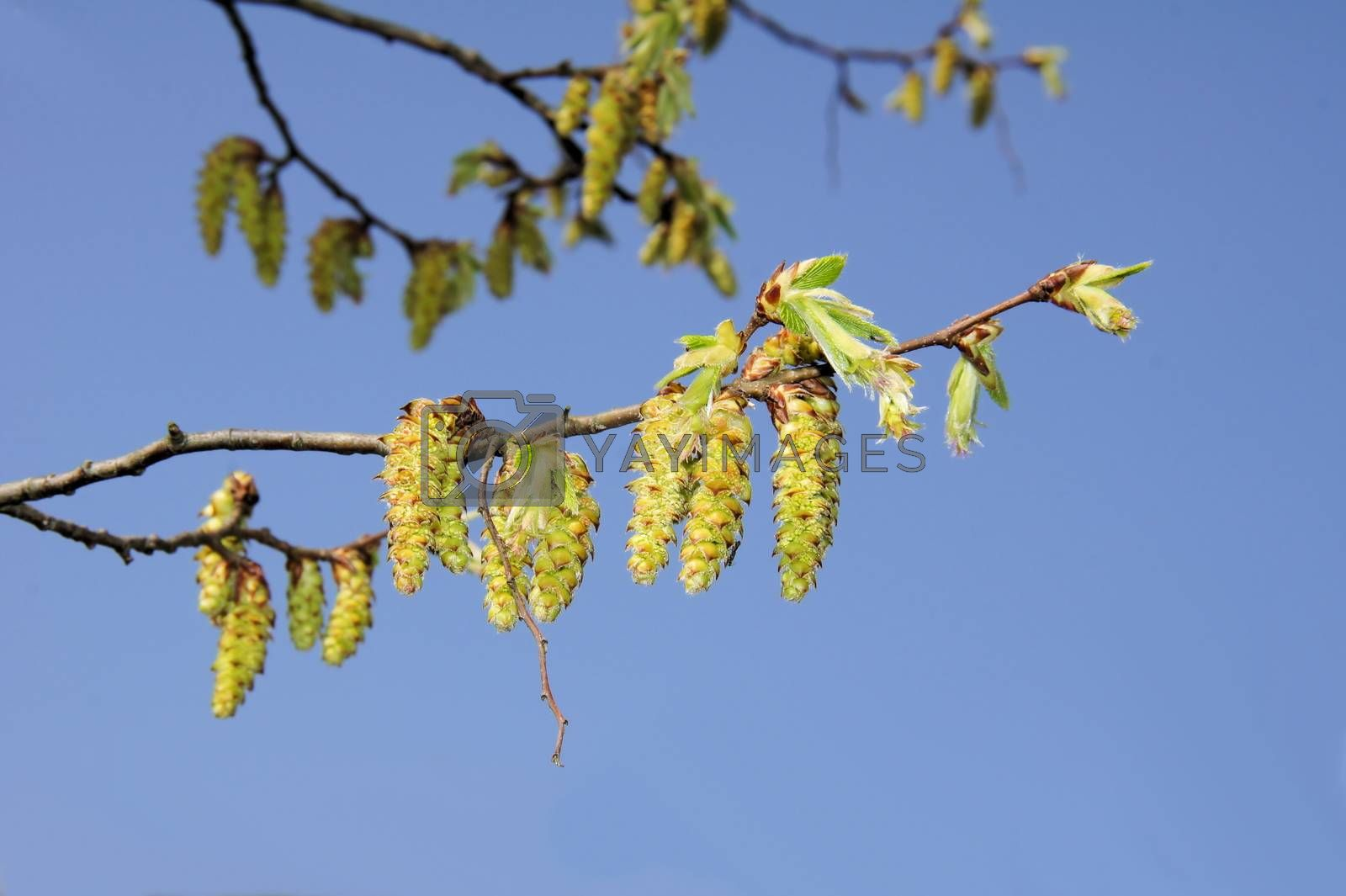 Royalty free image of hornbeam blossoms by azurin