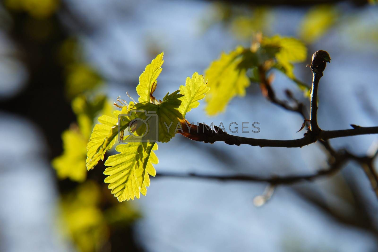 Royalty free image of young oak leaves in backlight by azurin