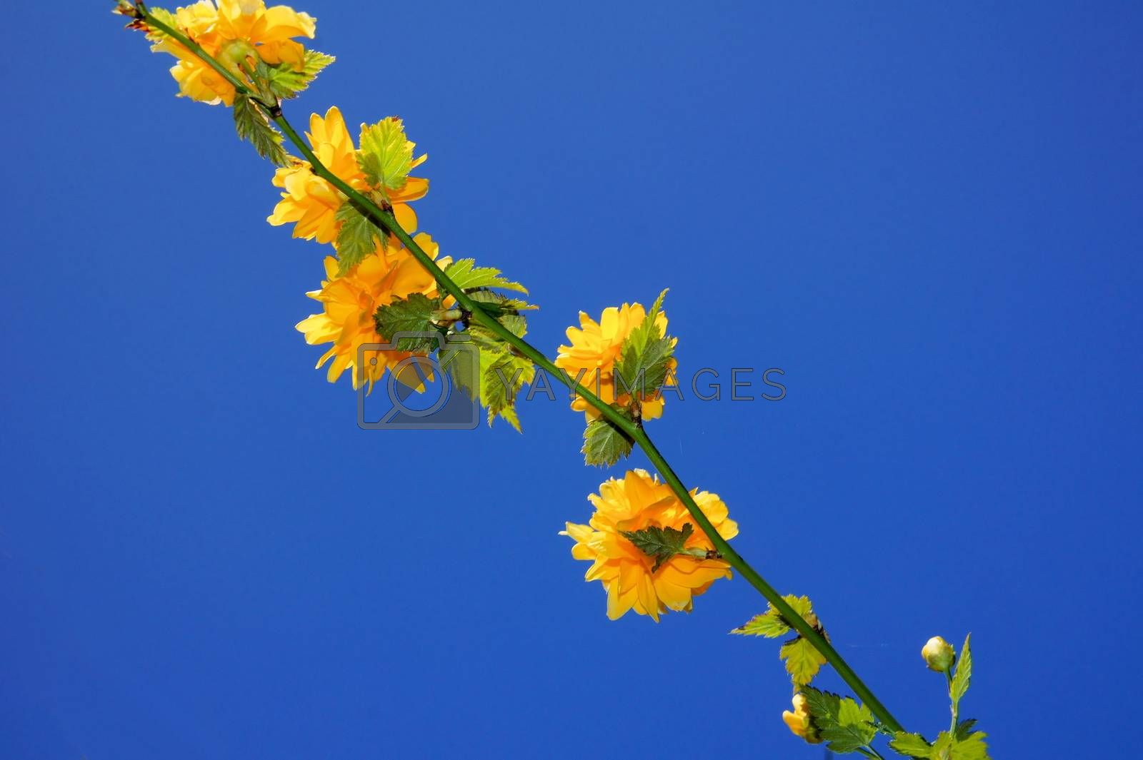 Royalty free image of persian buttercup branch by azurin