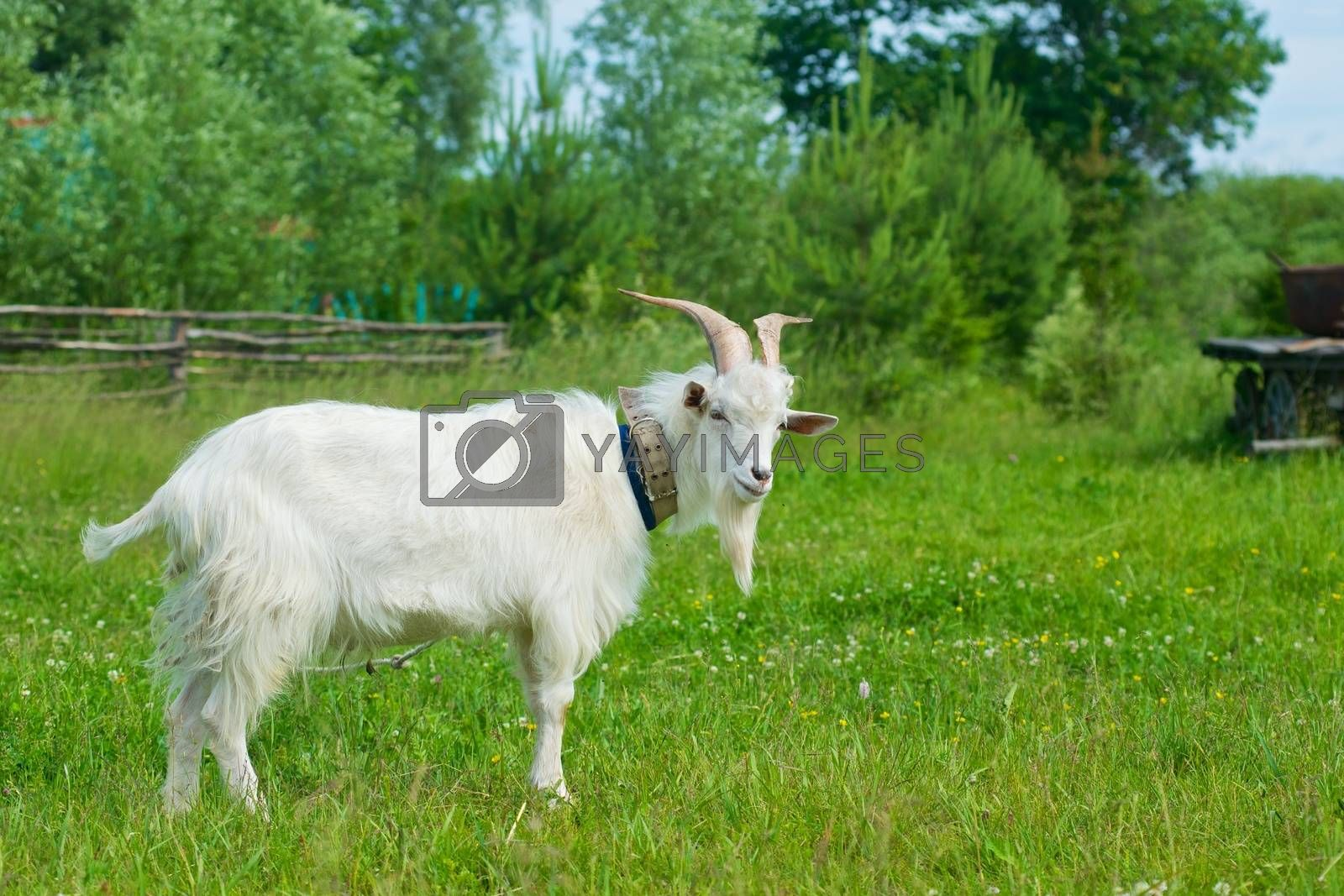 Royalty free image of The picture of a goat on a meadow by dyvan