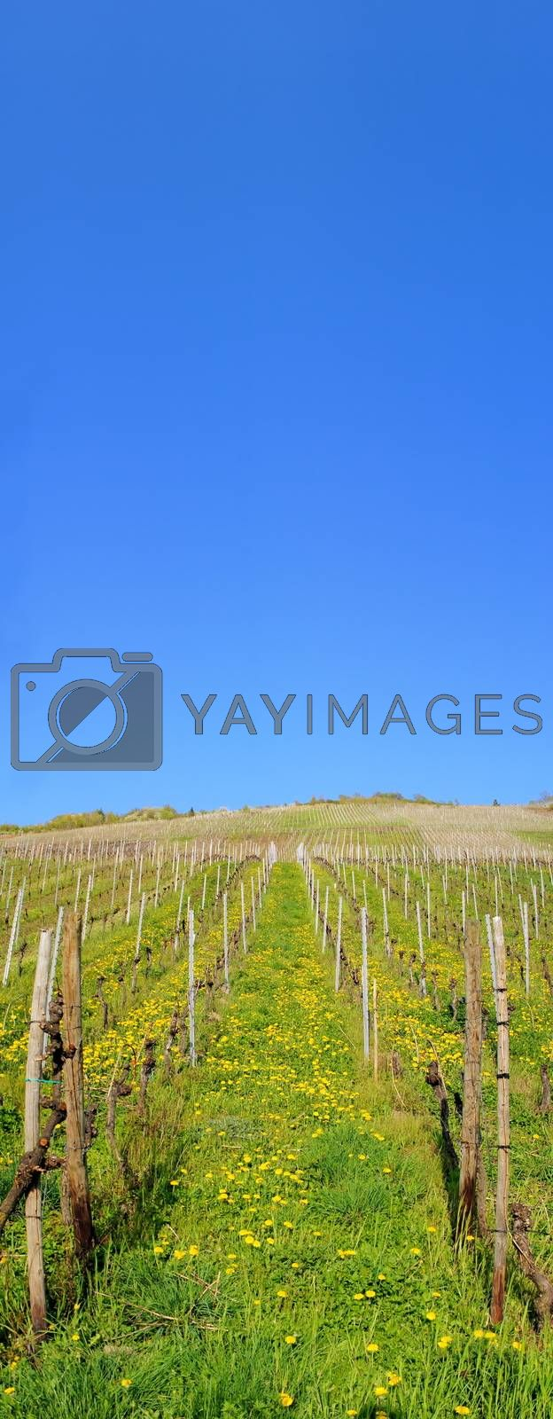 Royalty free image of Vineyard up to the sky by azurin