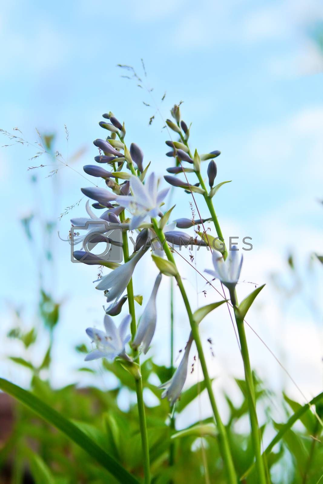 Royalty free image of Flowers - Funcia  by Stavrida