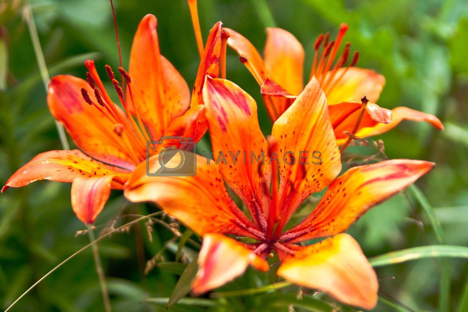 Royalty free image of Lilies by Stavrida