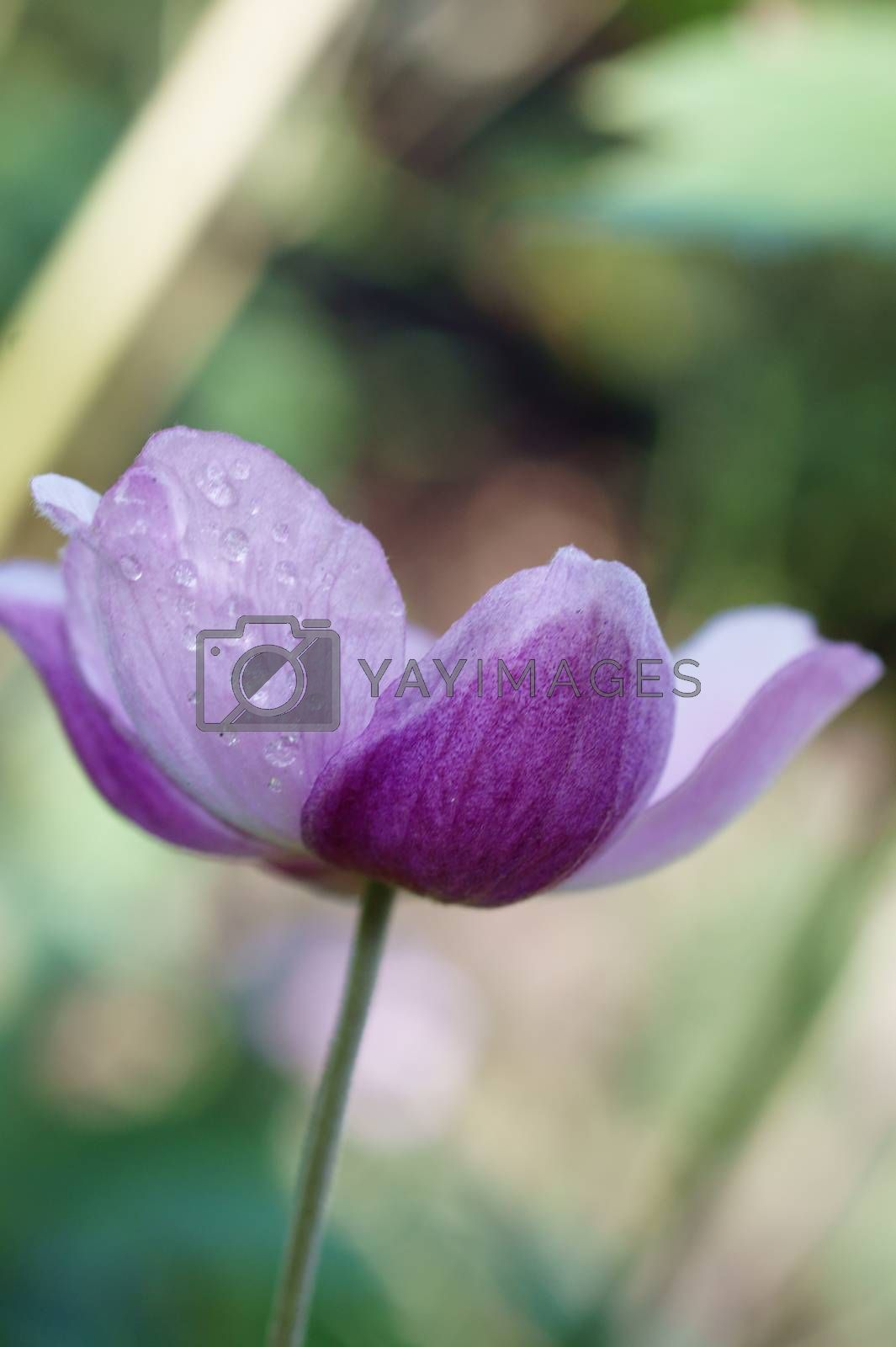 Royalty free image of Purple flower with water drops by ginton