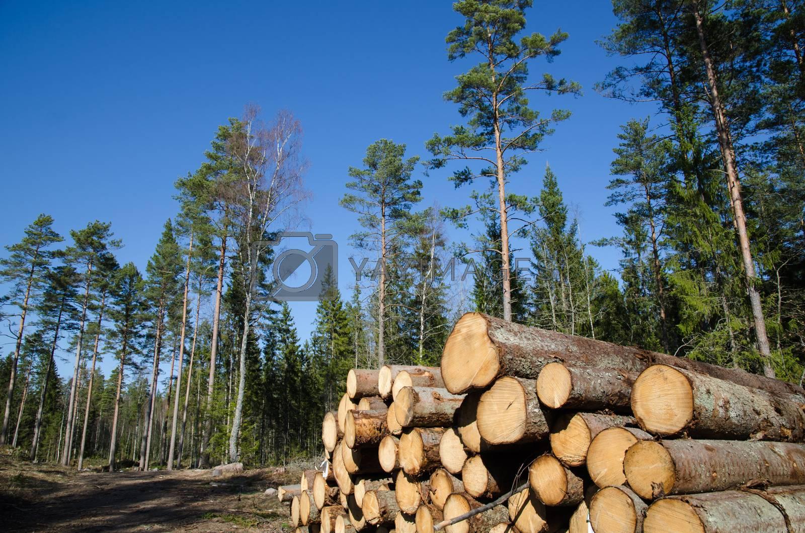 Royalty free image of Timber stack of whitewood by olandsfokus