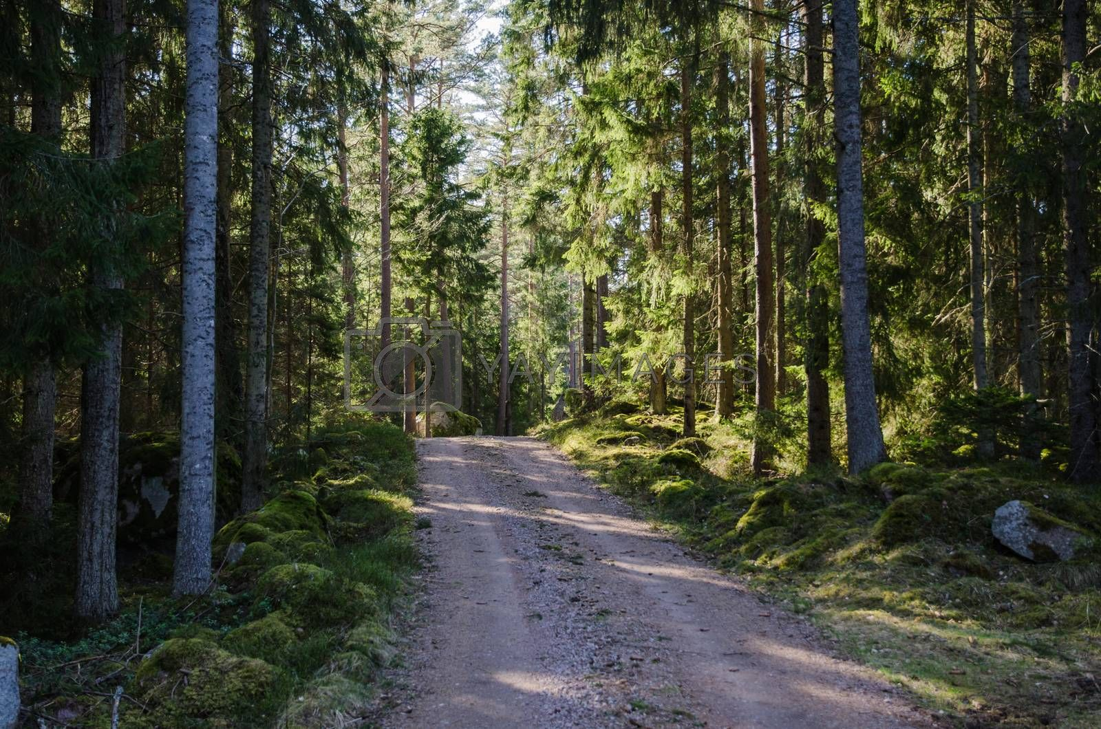Royalty free image of Dirt road through a shiny forest by olandsfokus