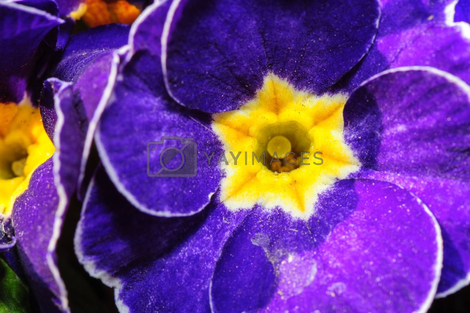 Royalty free image of blue primula flowers macro closeup by starush