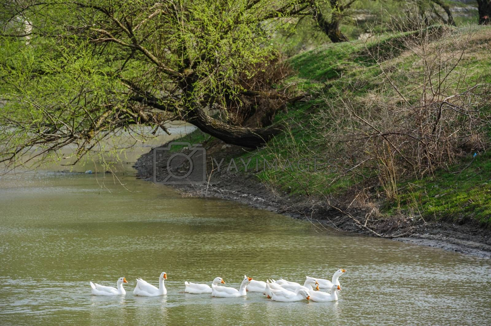 Royalty free image of geese on river by starush