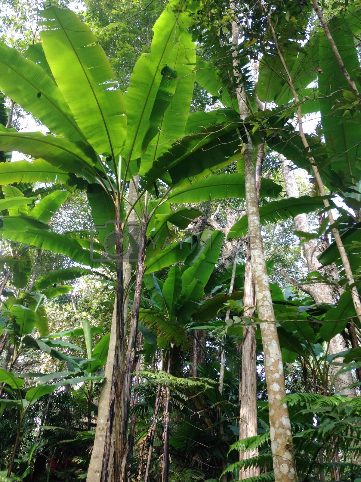 Royalty free image of the banana trees in a park , Thailand by pandara