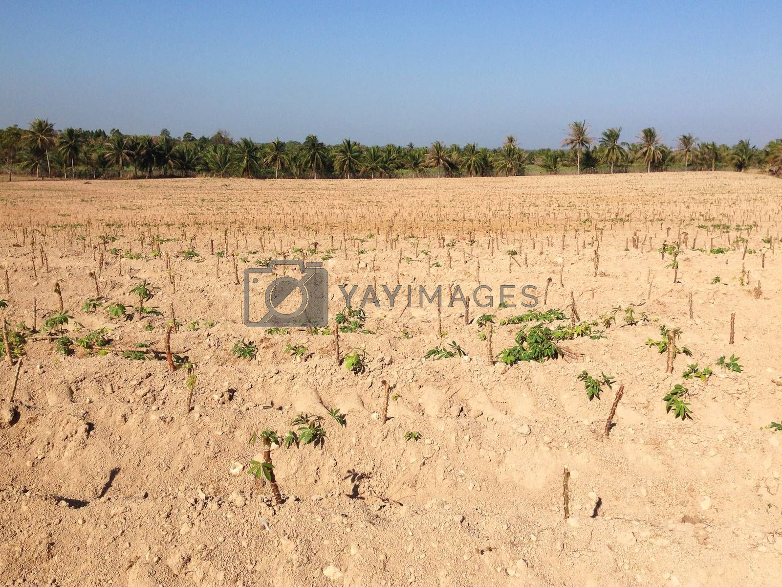 Royalty free image of the cassava field in Thailand by pandara