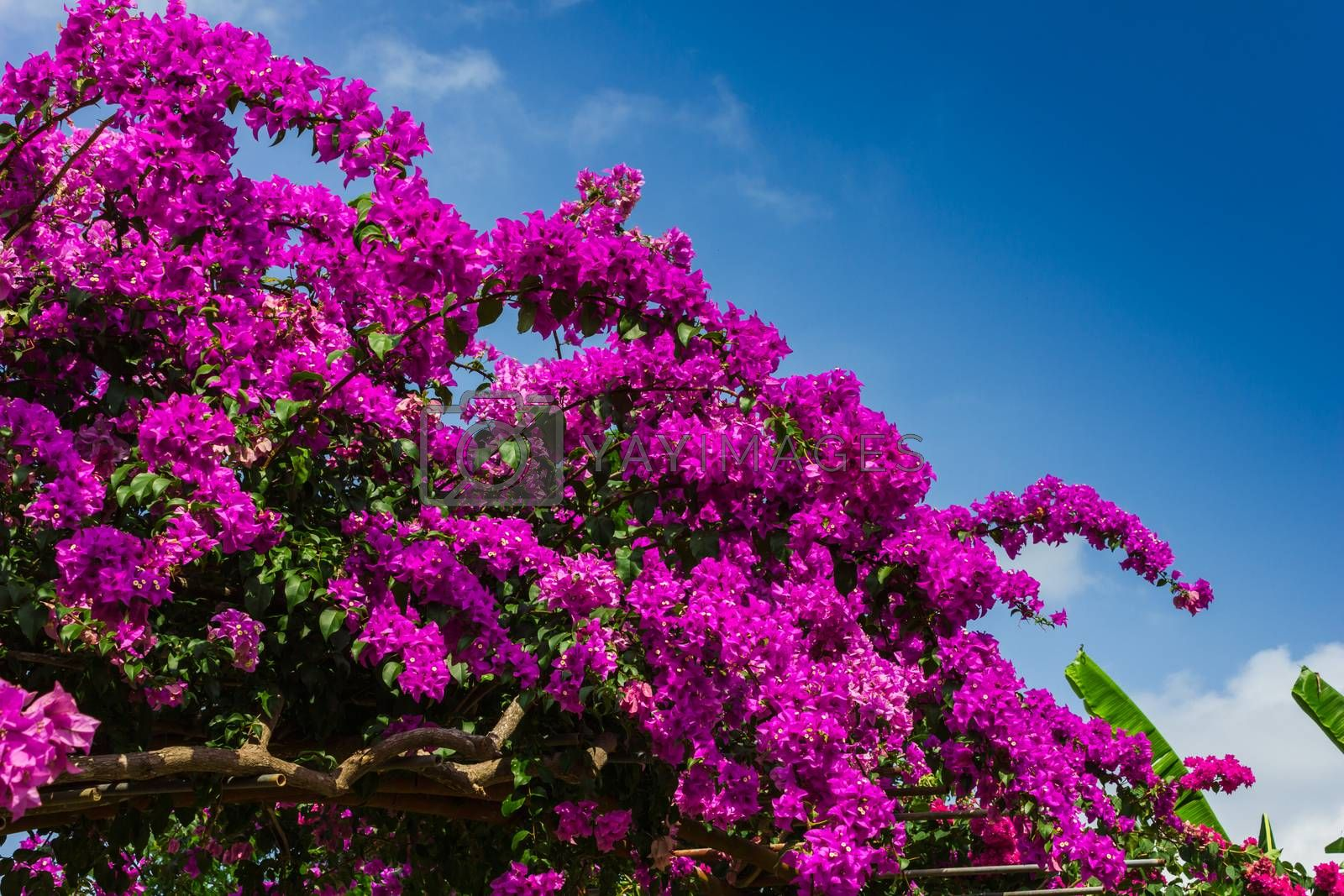 Royalty free image of Arch of purple flowers  in Thailand by oleg_zhukov