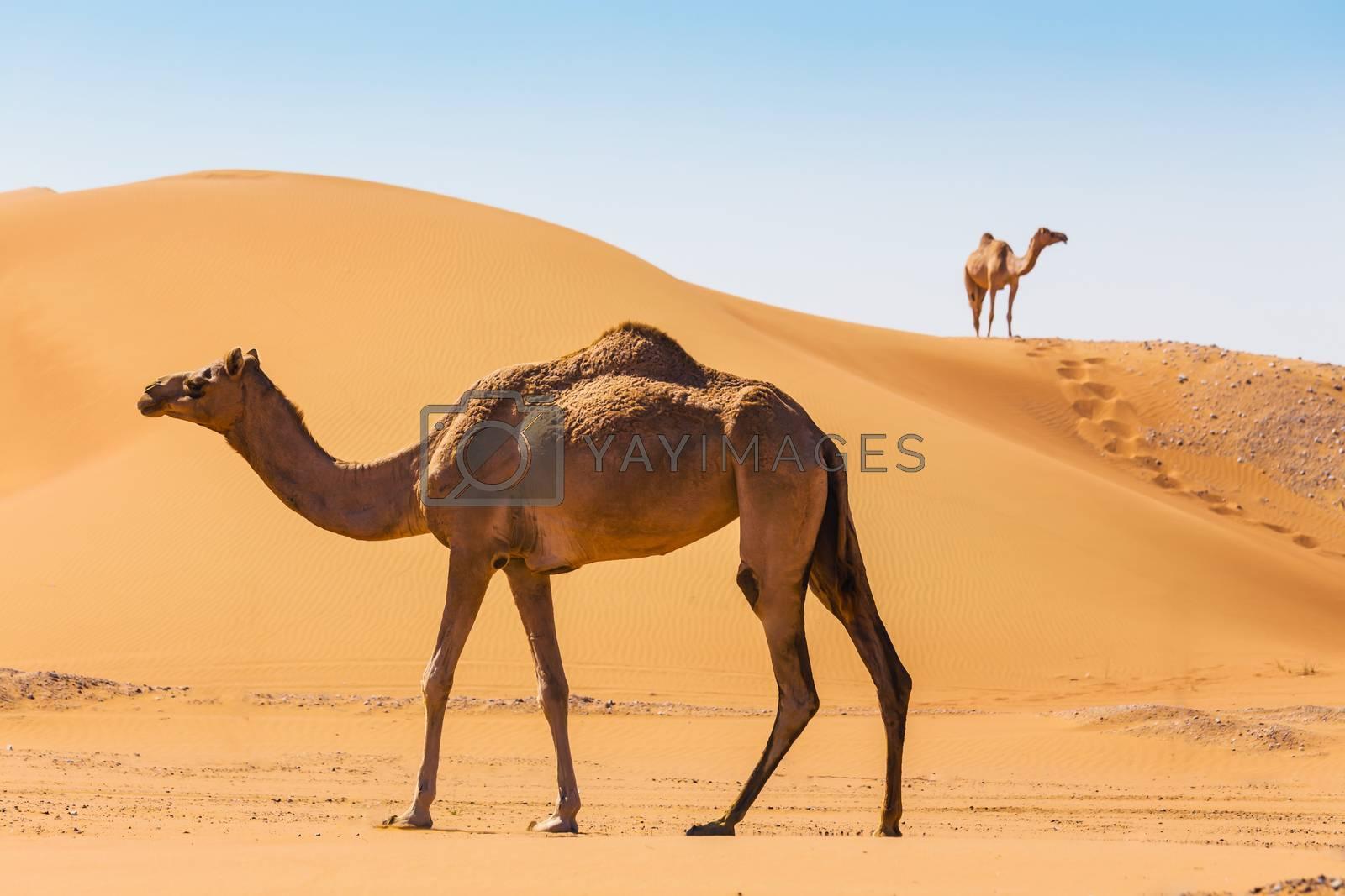 Royalty free image of Desert landscape with camel by oleg_zhukov