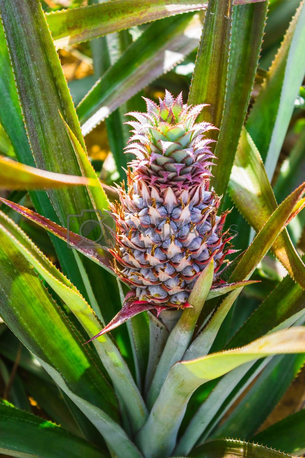 Royalty free image of Fresh pineaple on bush with leaves by oleg_zhukov