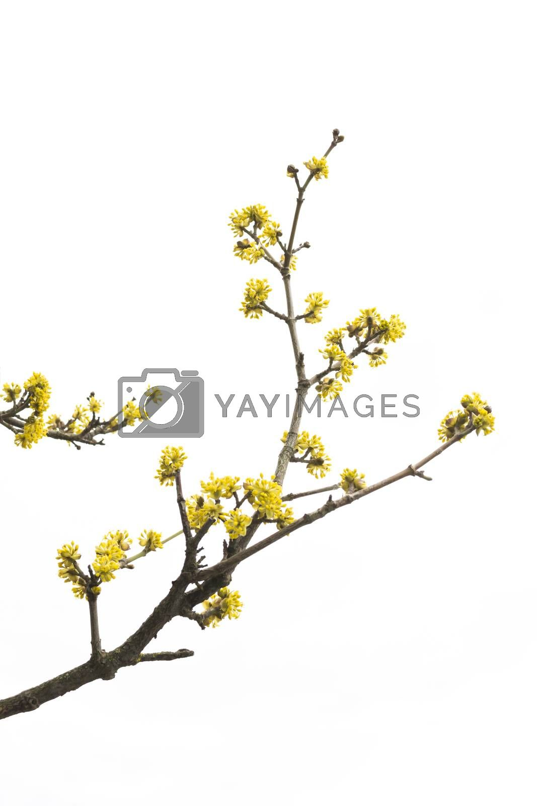 Royalty free image of Spring tree detail by ArtesiaWells