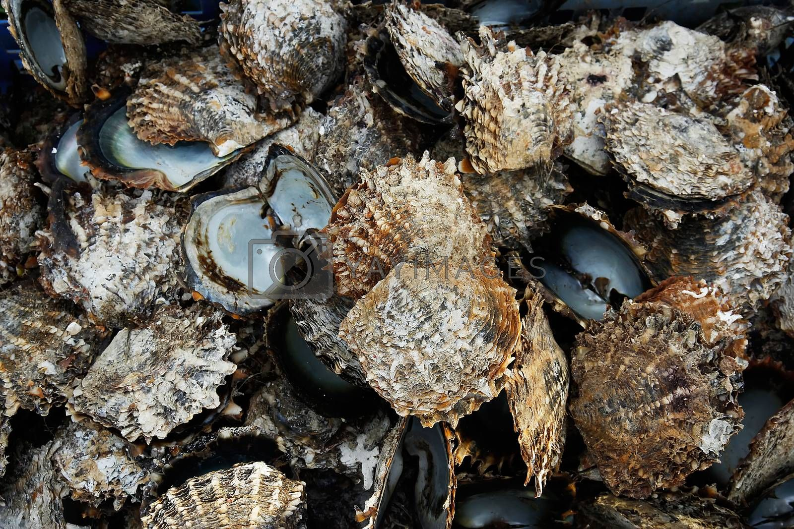Royalty free image of Pile of oyster shells at pearl farm, Vanua Levu island, Fiji by donya_nedomam