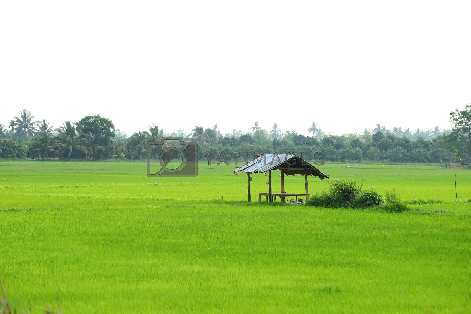 Royalty free image of paddy field and cottage by antpkr