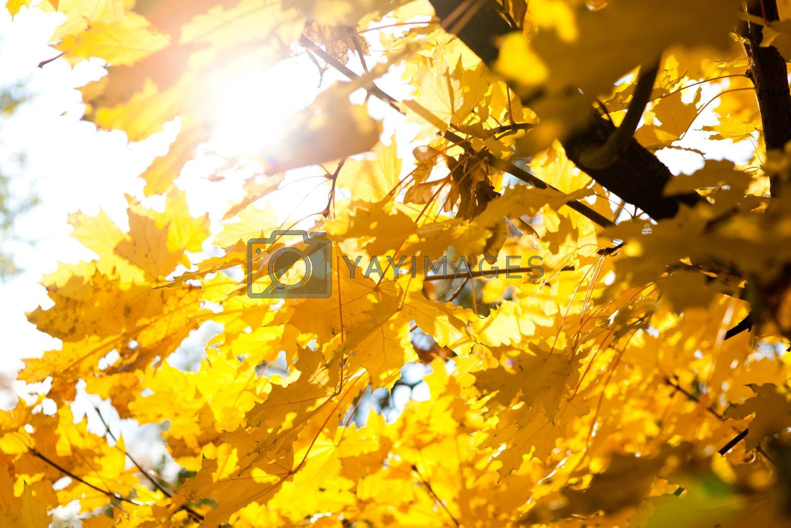bright sun and autumn leaves