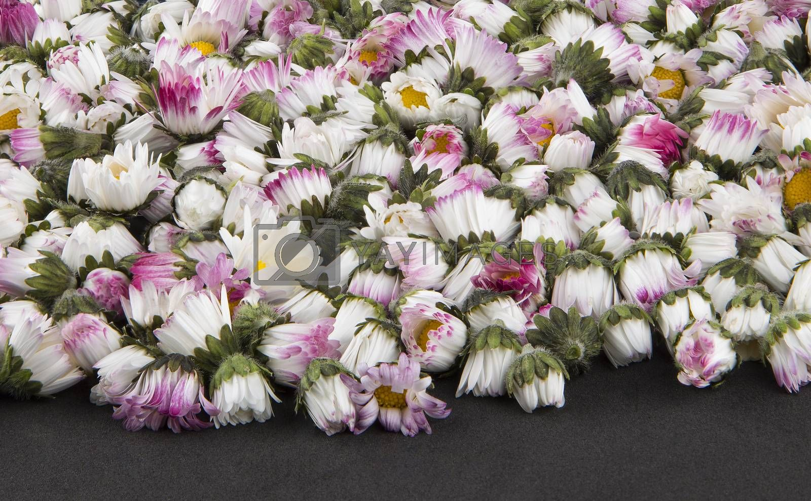 Background: sleeping closed daisies - bellis perennis by paocasa