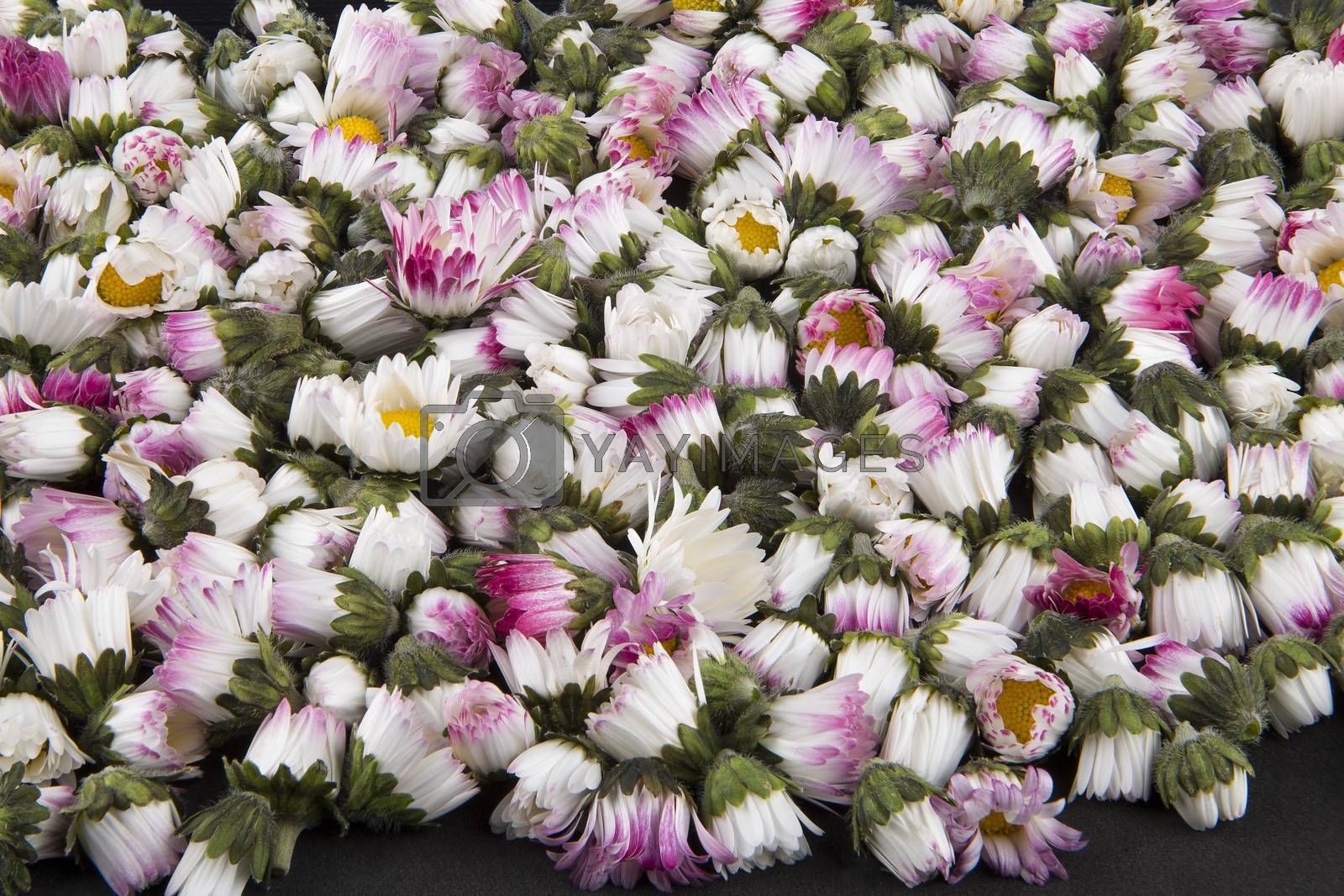 Royalty free image of Background: sleeping closed daisies - bellis perennis by paocasa